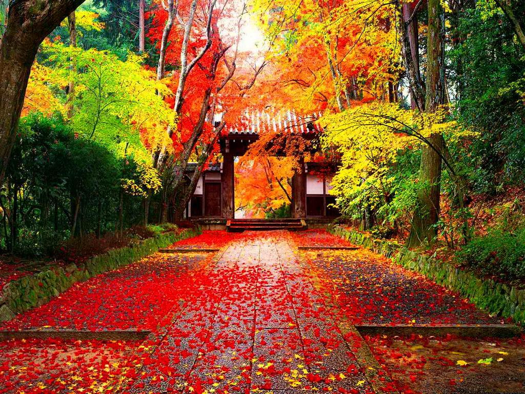 Các du khách thường chọn cố đô Kyoto để cảm nhận được rõ vẻ đẹp của lá phong chuyển màu