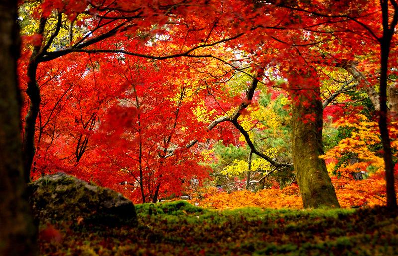 Màu đỏ lá phong xen lẫn với những kiến trúc cổ kính càng làm Kyoto đẹp hơn trong mắt du khách