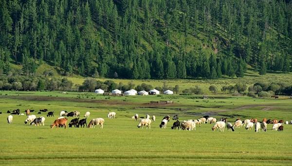Thảo nguyên Mông Cổ với những đàn cừu và ngựa.