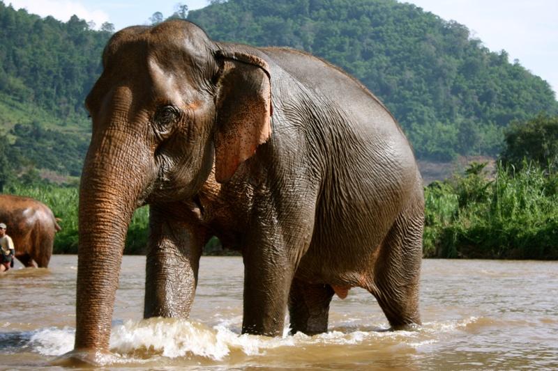 Ngắm Voi Tại Chiang Rai Thái Lan