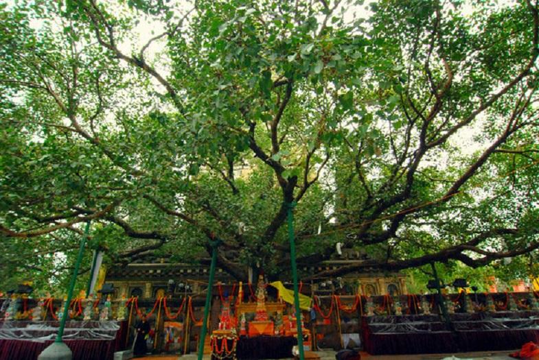 Cây bồ đề ở Bodh Gaya là một thắng tích Phật giáo tồn tại tới ngày hôm nay