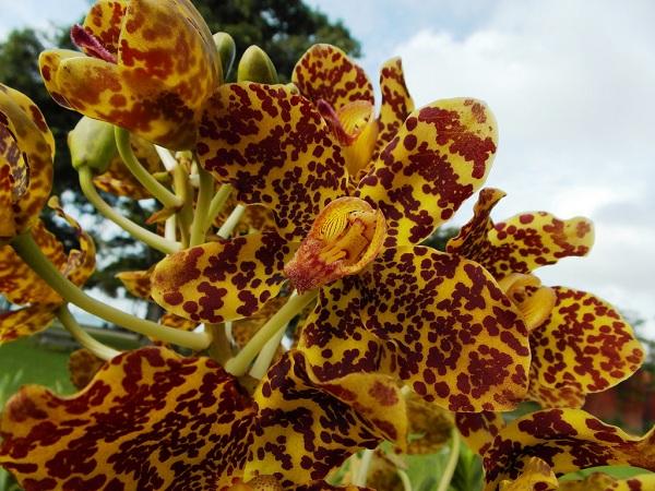 Thyllum Speciosum loài hoa lan lớn nhất thế giới