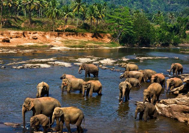 Trại nuôi voi Pinnawala