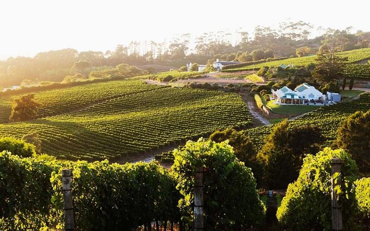 Nho ở vùng Cape Town được trông nhiều nhằm mục đích sản xuất rượu vang