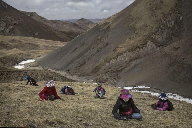 Để thu hoạch loại dược liệu quý hiếm này, người dân Tây Tạng gặp rất nhiều khó khăn và nguy hiểm