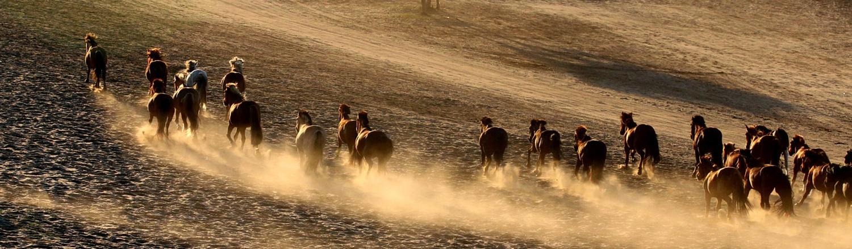Hình ảnh những đàn ngựa trên thảo nguyên hay sa mạc là điều bạn dễ dàng bắt gặp khi đến Mông Cổ