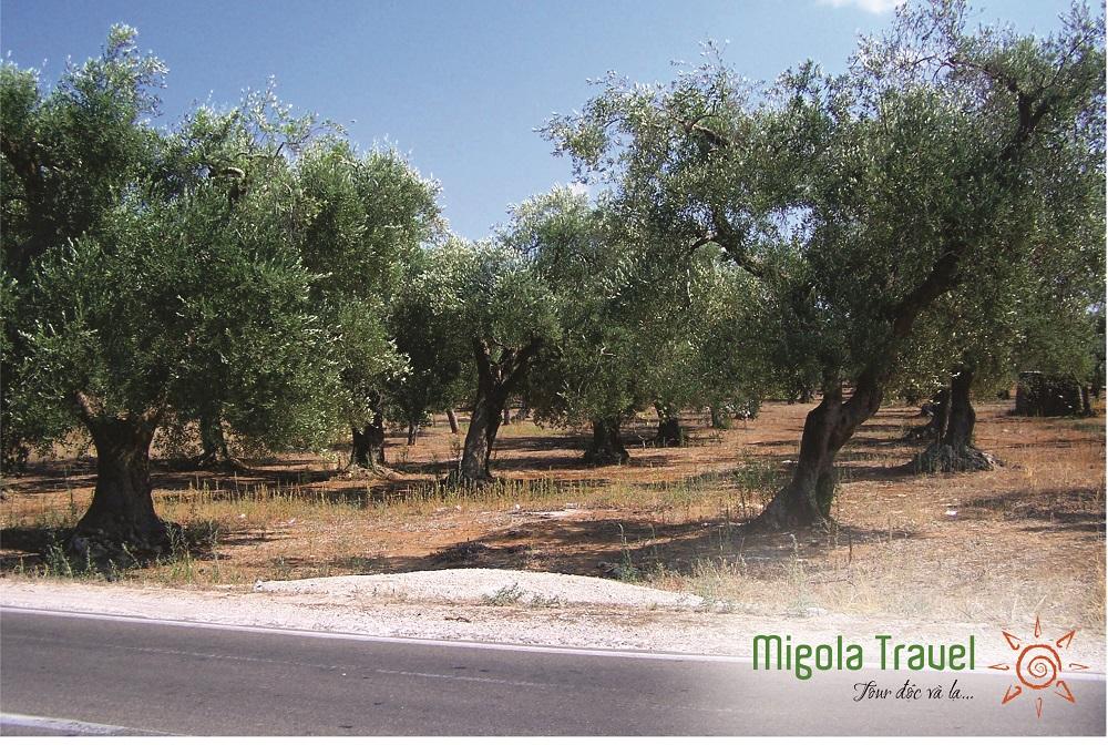 olive-dia-trung-hai