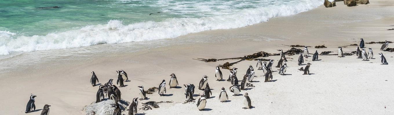 Bãi biển Boulders Beach, nơi du khách có thể ngắm nhìn các chú chim cánh cụt vô cùng dễ thương và tinh nghịch