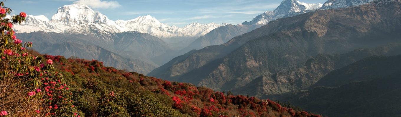 Đồi hoa đỗ quyên - quốc hoa của Nepla, xa là đỉnh Annapurna hùng vĩ