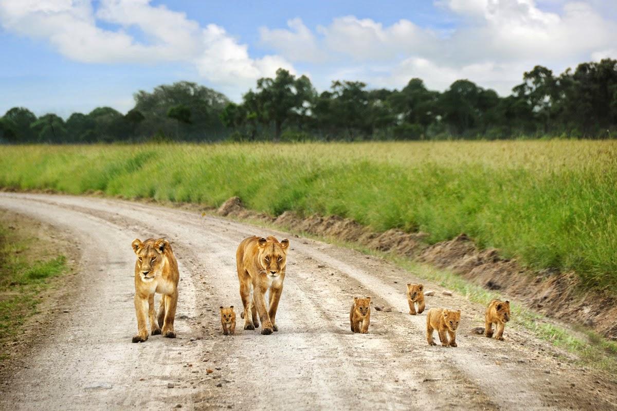 lion-family-masai-mara-kenya