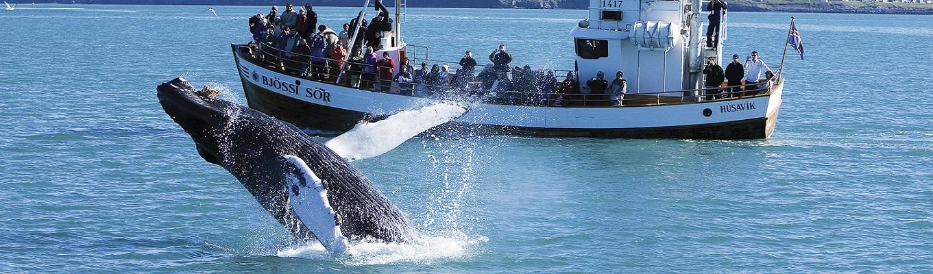 Quý khách tham gia chuyến dã ngoại ngắm cá voi cùng đội ngũ hướng dẫn viên chuyên nghiệp. Chuyến đi sẽ mang lại cho quý khách cơ hội nhìn thấy những chủng loại cá voi quý hiếm như cá voi lưng gù , cá voi sát thủ, cá voi vây...