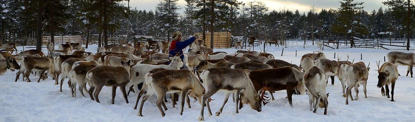 Tuần lộc vốn được nuôi dưỡng và thuần hoá tại nhiều nông trại ở tỉnh Lapland. Con vật này gắn liền với hình ảnh của miền đất Cực Bắc. Tại nông trại tuần lộc, du khách có thể trực tiếp cho chúng ăn và thoả sức chụp ảnh cùng thú cưng của Ông Già Noel.