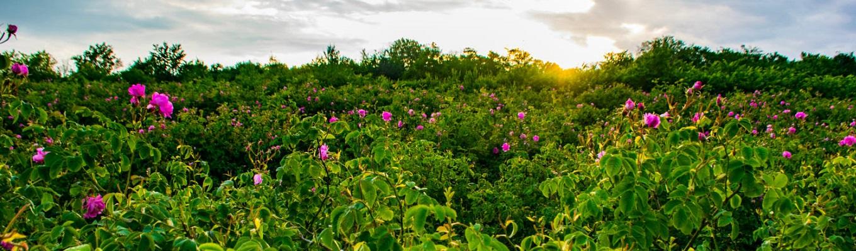 Kazanlak – thung lũng hoa hồng nổi tiếng nhất của Bulgaria với loại hoa hồng Damascena đặc trưng. Kazanlak có đến 173 ngôi làng trồng hoa hồng cùng những cánh đồng trồng hoa lớn nhất thế giới, và cũng là trung tâm chiết xuất tinh dầu hoa hồng lớn nhất của Bulgaria.
