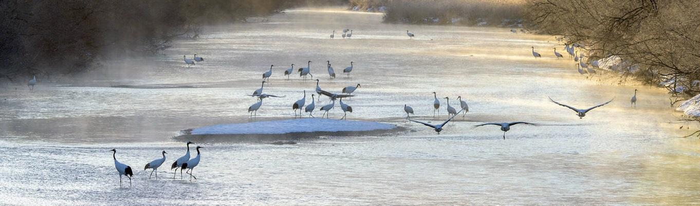 """Hạc là loài chim được người Nhật trân quý xem như như một viên """"Ngọc Quý"""" mà thiên nhiên ban tặng. Tại làng Tsurui-mura, ngoài phong cảnh hửu tình đầy mơ mộng, bạn sẽ được ngắm vũ điệu của loài bạch Hạc này."""