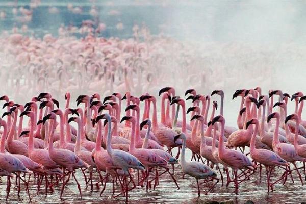 Chim hồng hạc di cư