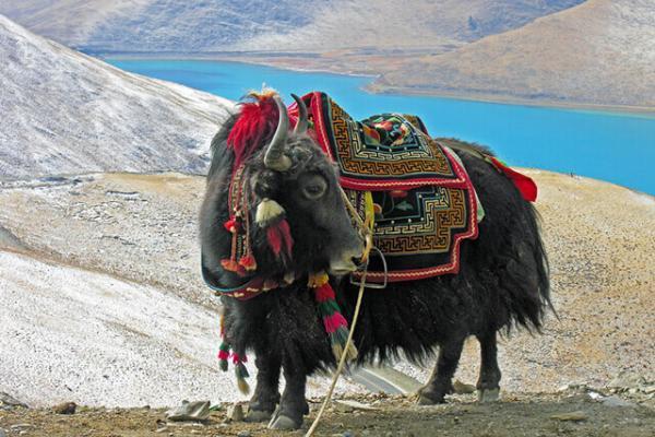 bò Tây Tạng
