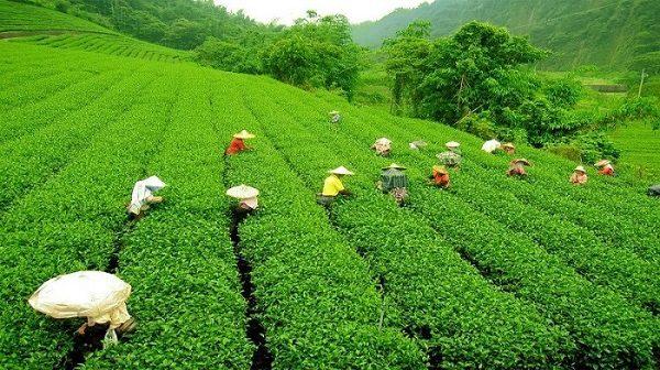 Vườn trà bao la xanh ngát của Darjeeling.