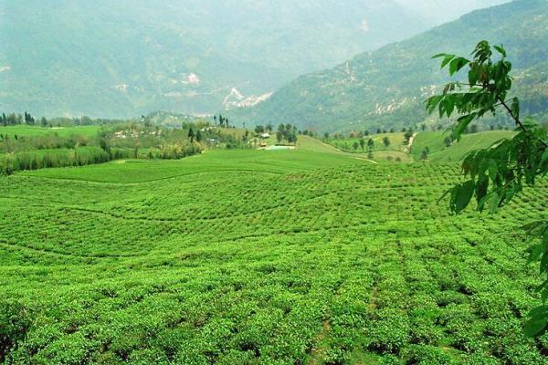 Vườn trà Temi tại cao nguyên Sikkim