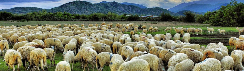 Đồng cừu suối Nghệ là những đàn cừu được chăn thả trên cánh đồng cỏ xanh mướt, thấp thoáng những ngọn đồi khiến cho khung cảnh như những thảo nguyên xa xôi ở Bắc Á.