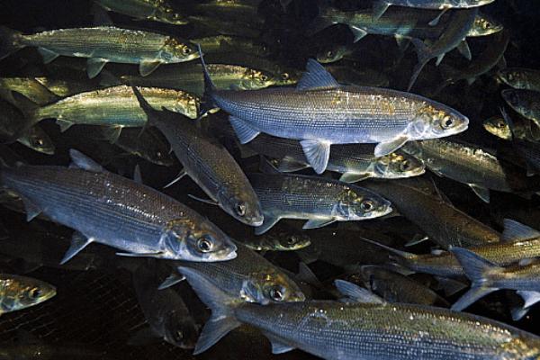 cá hồi Baikal